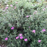 Grey-leaved cistus