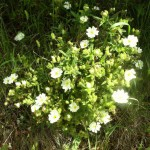 Narrow-leaved cistus