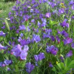 Purple viper's bugloss