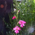 Field gladiolus
