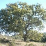 Portuguese oak